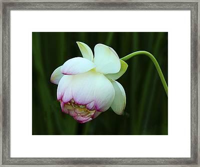 Drooping Lotus Framed Print