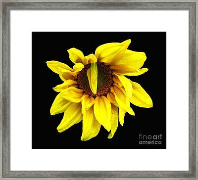 Droops Sunflower With Oil Painting Effect Framed Print by Rose Santuci-Sofranko