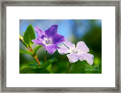 Drops On Violets Framed Print by Carlos Caetano