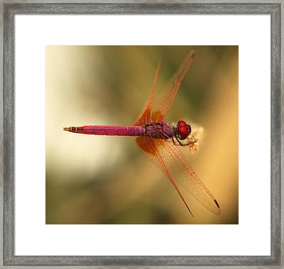Dropwing Dragonfly Framed Print