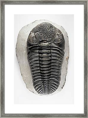 Drotops Megalomanicus Trilobite Fossil Framed Print