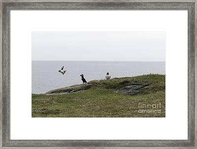 Druken Puffin Framed Print by Jim  Hatch