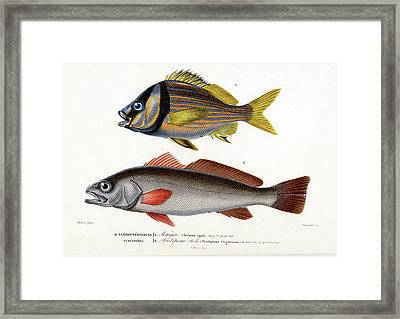 Drum And Grunt Framed Print by Collection Abecasis