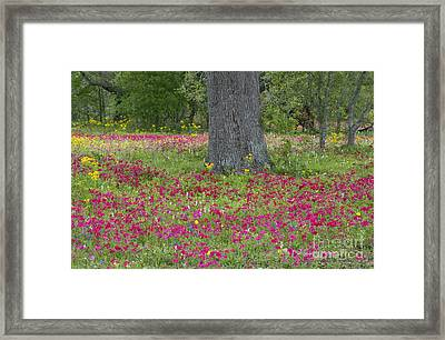 Drummonds Phlox And Crown Tickweed Central Texas Framed Print