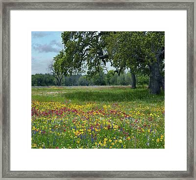 Drummond's Phlox, Coreopsis, Texas Framed Print