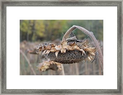 Dry Sunflower Framed Print by Annette Gendler