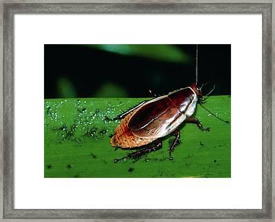 Dryadoblatta Framed Print