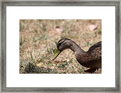 Duck - Animal - 011317 Framed Print by DC Photographer