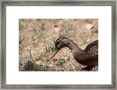 Duck - Animal - 011317 Framed Print