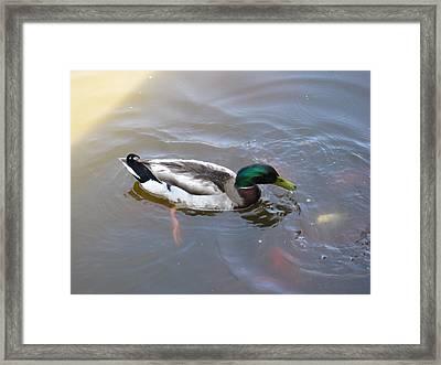 Duck - Animal - 01135 Framed Print by DC Photographer
