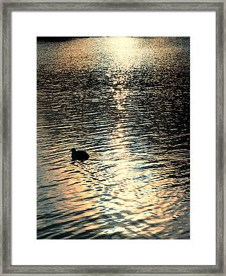 Duck At Sunset Framed Print