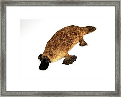 Duck-billed Platypus Framed Print by Ucl, Grant Museum Of Zoology