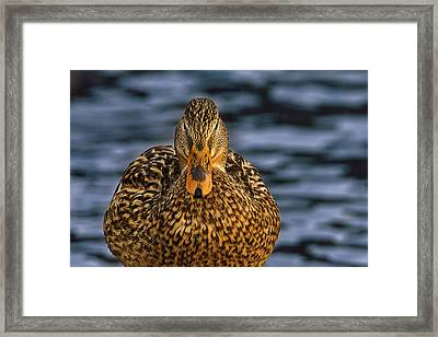 Framed Print featuring the photograph Duck by Brian Cross