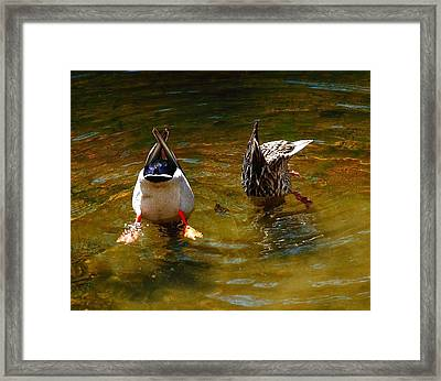 Duck Butts Framed Print by Steven Reed