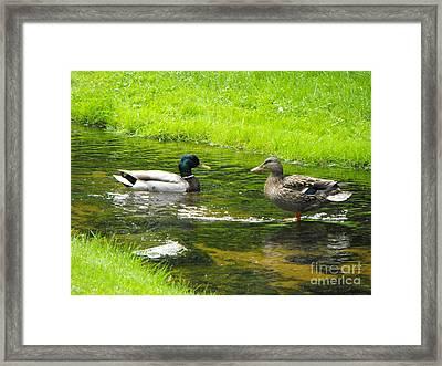 Duck Couple Framed Print