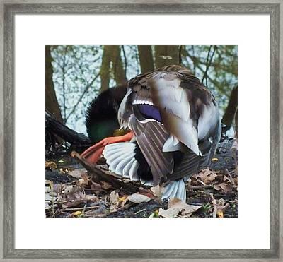 Duck Dance Framed Print by Anna Villarreal Garbis