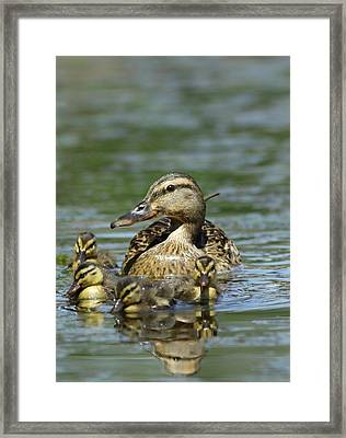 Duck Framed Print by Dragomir Felix-bogdan