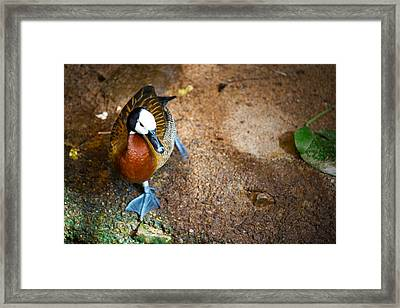 Duck Duck Duck Framed Print by Andy Fung