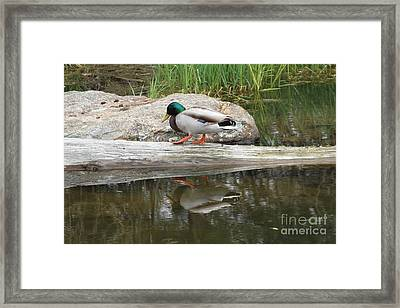 Duck Duck Framed Print by Rick  Monyahan
