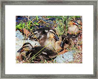 Duck Dynasty Ducklings Framed Print by Tap On Photo