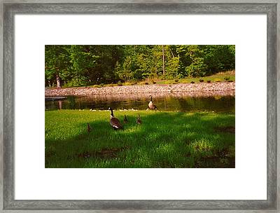 Duck Family Getting Back From Pond Framed Print