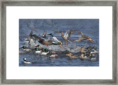 Duck Frenzy Framed Print
