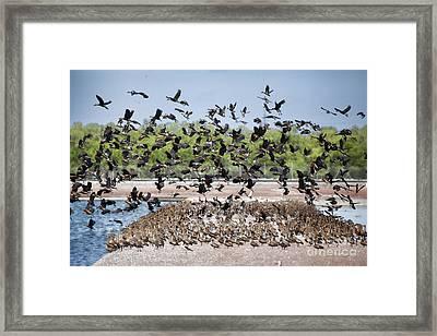 Duck Frenzy V2 Framed Print by Douglas Barnard