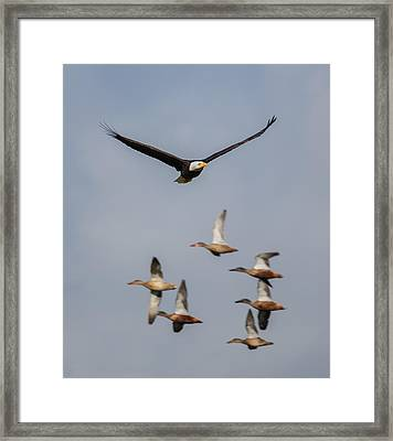 Duck Hunt Framed Print by Angie Vogel