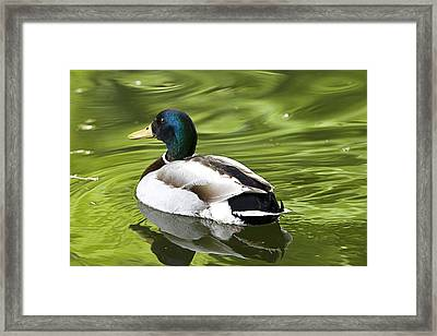Duck On A Green Pond Framed Print by Tony Reddington