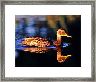 Duck On A River With Refletion Framed Print