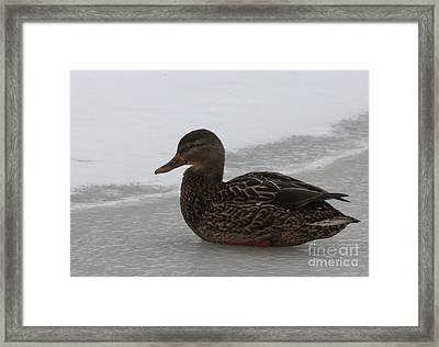 Framed Print featuring the photograph Duck On Ice by John Telfer