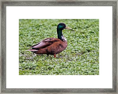 Duck On Watercress Framed Print by David Warner