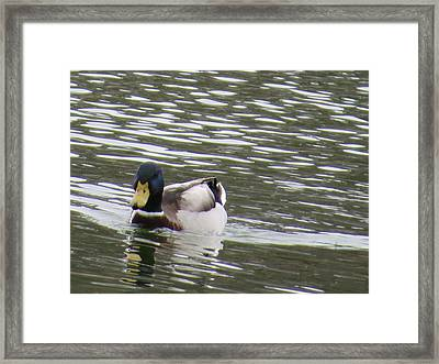 Duck Out For A Swim Framed Print by Aaron Martens