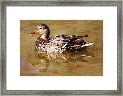 Duck Reflection Framed Print by Paulette Thomas