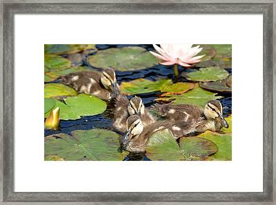 Duck Soup 2 Framed Print by Fraida Gutovich
