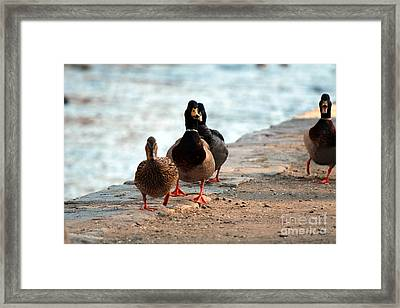 Duck Walk Framed Print
