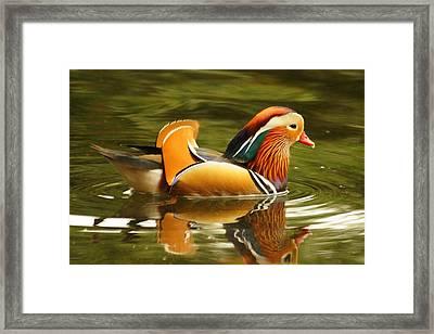Duck Wild - Mandarin Framed Print by DerekTXFactor Creative