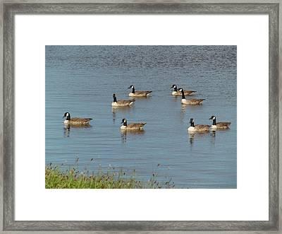 Ducking Around Framed Print