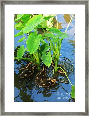 Duckling Among The Taro Framed Print by Craig Wood