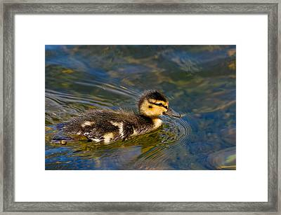 Duckling Framed Print
