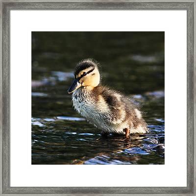 Duckling Framed Print by Grant Glendinning