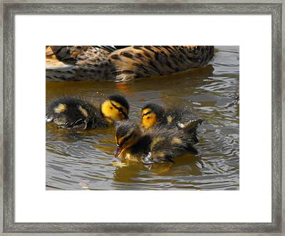 Duckling Splash Framed Print