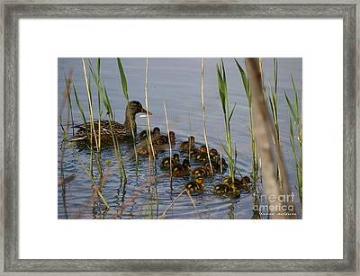 Ducklings And Mom Framed Print