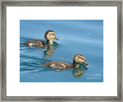 Ducklings Framed Print by Beverly Guilliams