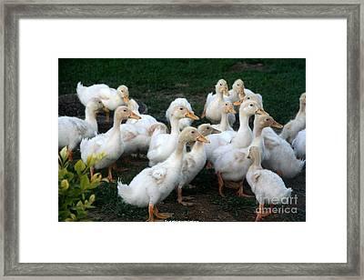 Ducklings In Clay Center Kansas Framed Print by PainterArtist FIN