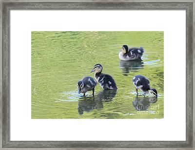 Ducklings Framed Print by Miguel Celis