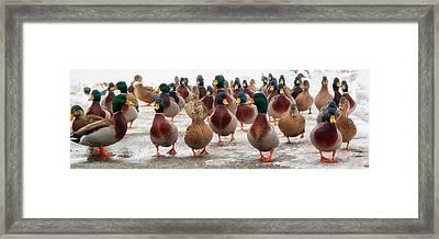 Duckorama Framed Print