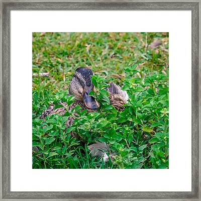 Duckouflage Framed Print by Rob Sellers