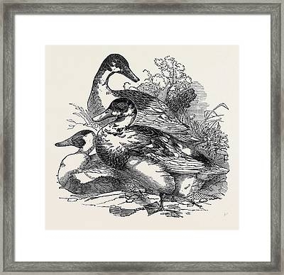 Ducks, First Prize Cross Aylesbury And Rouen Mr Framed Print