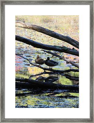 Ducks In Fall Colors II Framed Print by Cheryl Aguiar